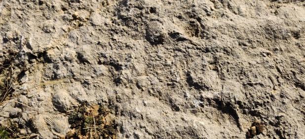 Fossile Muscheln im Kalkstein